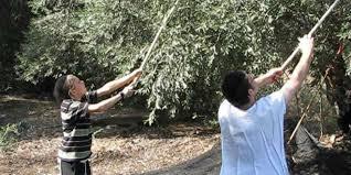Harvesting olives in Lower Galilee